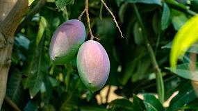 Foto de Recomendaciones para el manejo sostenible de la cochinilla blanca del mango en el sur de España