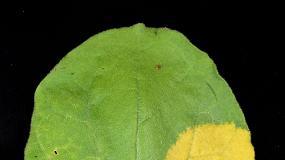 Foto de Descubierto un nuevo método de biofortificación que transforma las hojas en almacenes de nutrientes