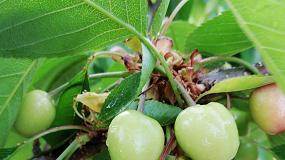 Foto de Ácido oxálico, el elicitor que mejora la calidad y la vida útil de cerezas tempranas