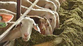 Foto de Alimentar a una oveja lechera cuesta ahora un 3,2% menos que a principios de año