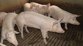 Foto de Estudian los efectos de las interacciones entre compañeros de corral en los resultados productivos del cerdo