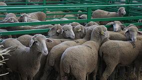 Foto de La Feria de Zafra refleja el trabajo genético de Ovinos Precoces y de Merina