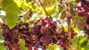 Foto de Ifapa recupera variedades de uva autóctonas más resistentes al mildiu y al cambio climático