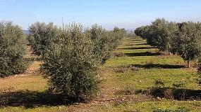 Foto de Reducción de la incidencia de Verticilosis en olivar comercial mediante la gestión integrada de enfermedades