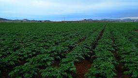 Foto de La superficie de patata puede descender este año hasta un 20% en el centro y norte de España, según Fepex