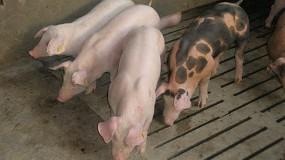 Foto de La EFSA investiga las principales cuestiones pendientes de la peste porcina africana