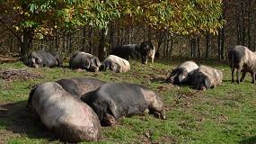Foto de La Xunta de Galicia quiere potenciar la competitividad del Porco Celta con una inversión de 123.000 euros