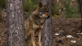 Foto de Convocadas ayudas en Castilla y León para paliar los daños producidos al ganado por el lobo
