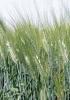 Semillas de Cereales de invierno
