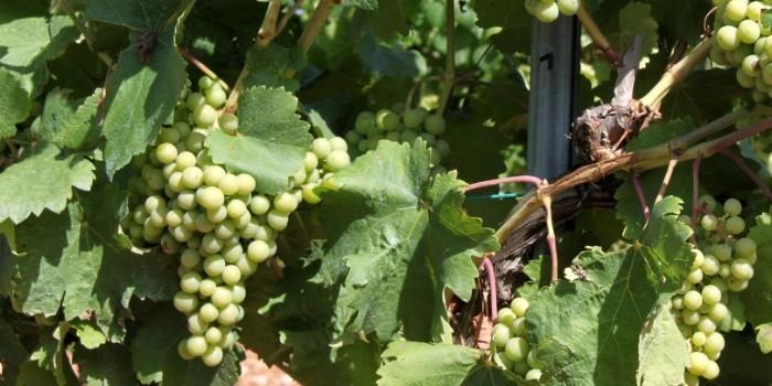 La nutrici�n org�nica en fermentaci�n alcoh�lica, imprescindible para la calidad de los vinos