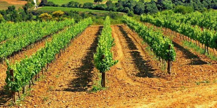 La diversidad gen�tica de la vid y los retos de la viticultura