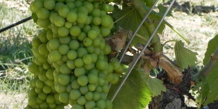 Biorrefiner�as: valor para desechos como hollejos, pepitas de uva y l�as de fermentaciones vin�colas