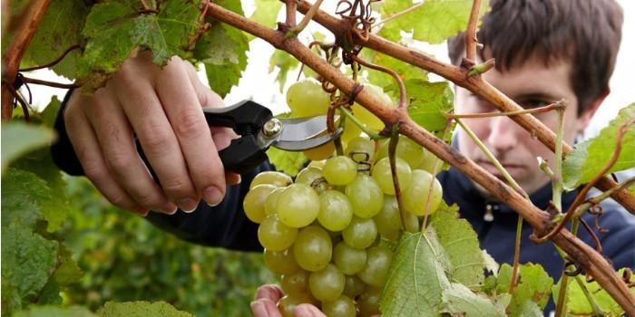Influencia de diferentes t�cnicas de aclareo en el perfil fen�lico y organol�ptico de los vinos