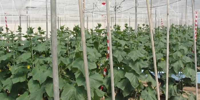 Evaluaci�n de sensores de suelo para la automatizaci�n del riego en cultivos hort�colas bajo invernadero