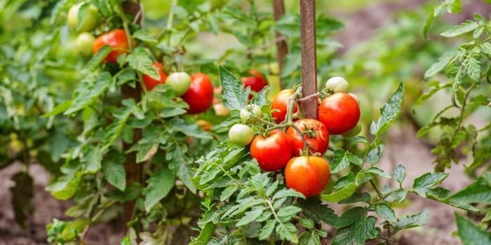 La evoluci�n de mil variedades de tomate a altas temperaturas, a prueba en Paiporta