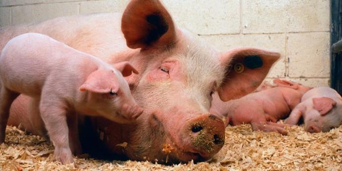Espa�a alcanza cifras record en producci�n porcina y de vacuno