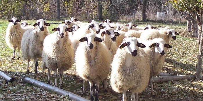Investigadores de la UVa estudian el empleo de orujo de uva en la alimentaci�n del ganado ovino