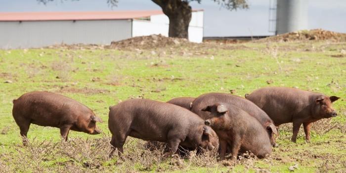 El porcino ibérico será el protagonista en los I premios Porc d'Or 'Ibérico'