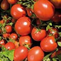 Semillas de tomate de industria
