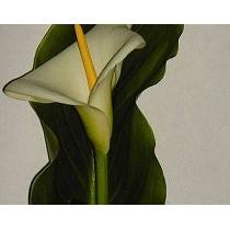Flores cortadas de calas