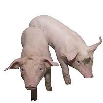 Equipos para el bienestar de porcino