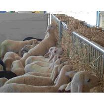 Forrajeras para ganado ovino