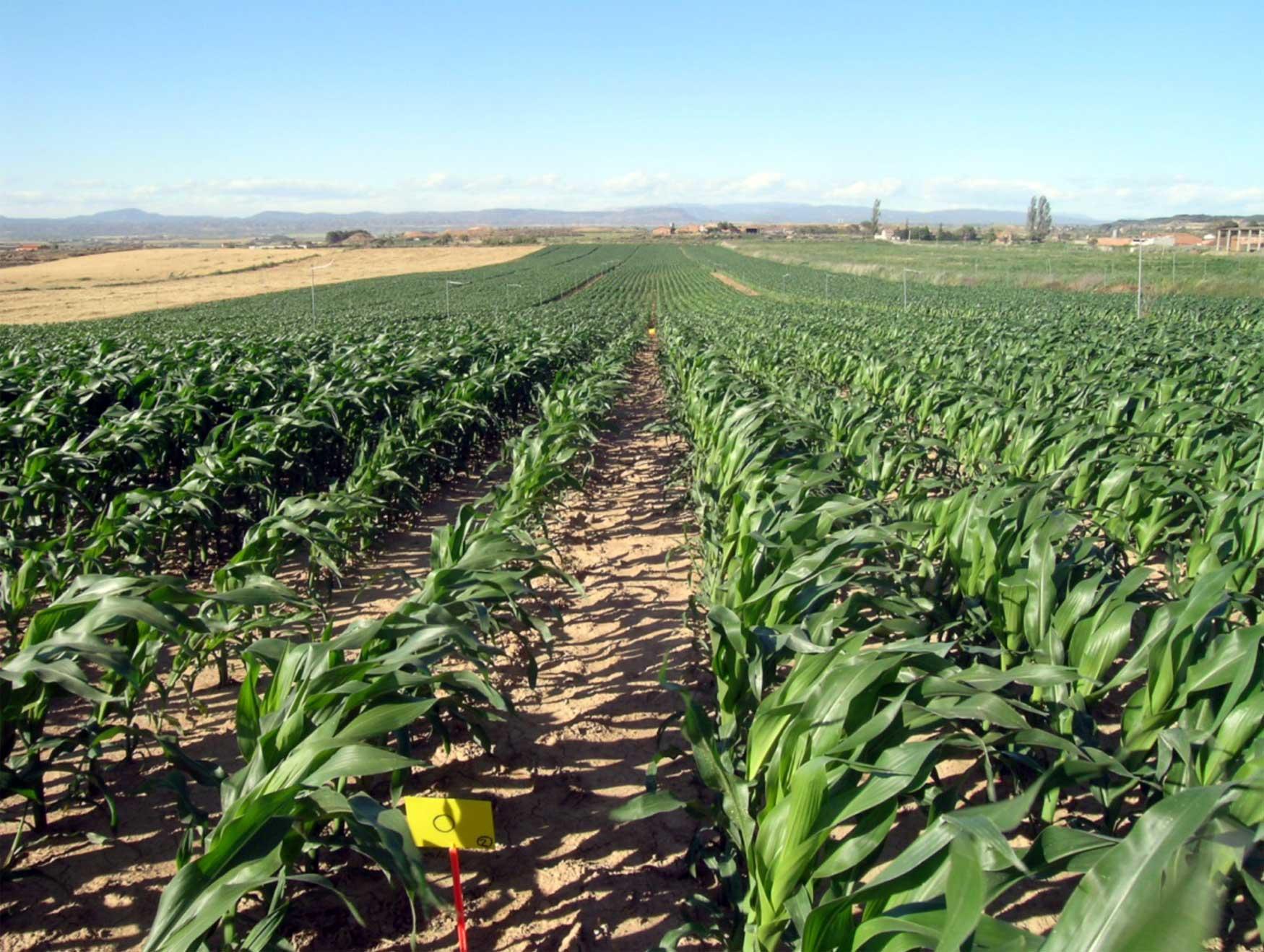 Optimizaci n de la fertilizaci n nitrogenada del ma z tras for Que es la asociacion de cultivos
