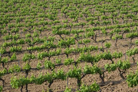 Las necesidades hídricas de la vid - Industria vitivinícola Sadnja