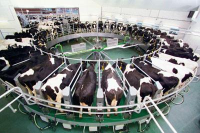 Resultado de imagen para imagen de ordeña de vacas lecheres