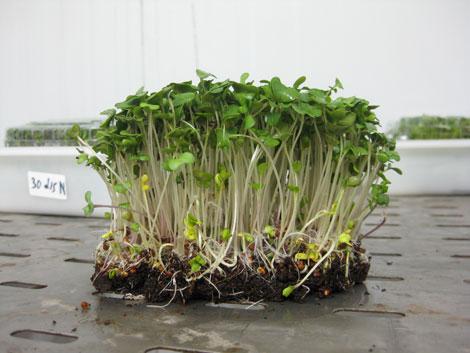 Metodos de cosecha del brocoli