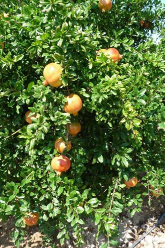Aproximaci n a la pauta de riego ptimo en granado for Arbol granada de jardin