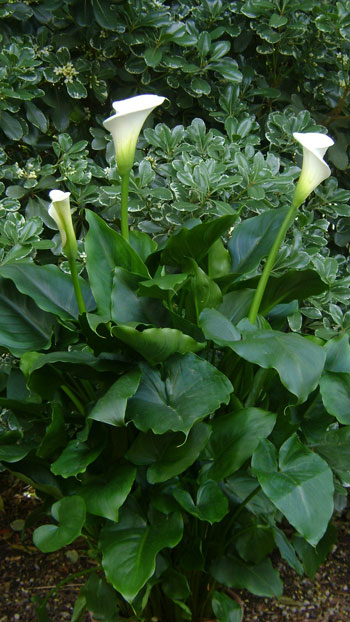 Fitomejora En Busca De Variedades Con Floraci N Invernal