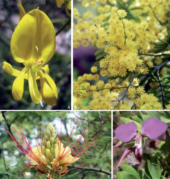 La evoluci n de las flores leguminosas y afines jardiner a - Caesalpinia gilliesii cultivo ...