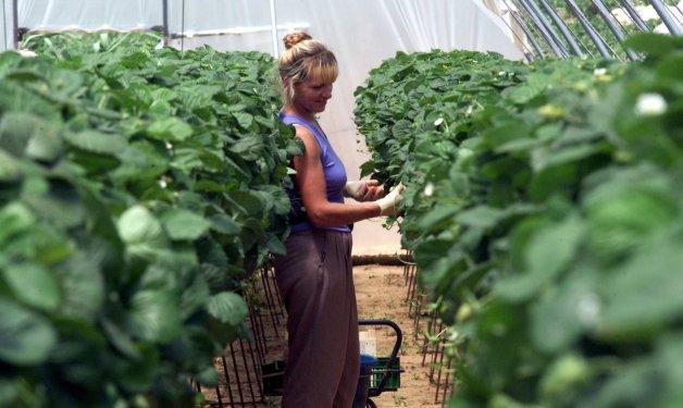 Una mujer en labores agrícolas en el mundo rural. EFE/Archivo. MIGUEL VAZQUEZ
