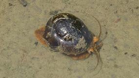 Foto de El IRTA demuestra la efectividad de dos molusquicidas para combatir la plaga del caracol manzana