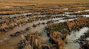 Foto de Científicos buscan nuevas variedades de arroz para luchar contra el caracol manzana y los efectos del cambio climático