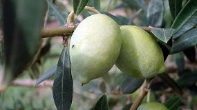Foto de El IRTA conserva más de 50 variedades de olivo de origen catalán
