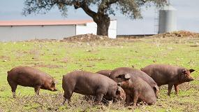 Foto de El porcino ibérico será el protagonista en los I premios Porc d'Or 'Ibérico'