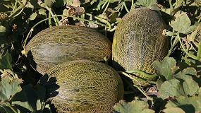 Foto de Syngenta lanza Airen, un melón piel de sapo que refuerza la apuesta de la compañía por variedades con sabor