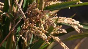 Foto de Kellogg y el IRTA colaboran para hacer más rentable y sostenible el cultivo del arroz en el Delta del Ebro