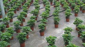 Foto de Grupo Projar recomienda abonos altos en potasa para un óptimo crecimiento de la Poinsettia