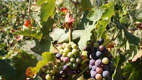 Foto de Retrasar la maduración de la uva para mejorar la calidad del vino