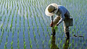 Foto de El riego intermitente disminuye las emisiones de metano en los arrozales