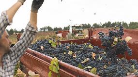 Foto de La DO Utiel-Requena recolecta 196 millones de kg de uva