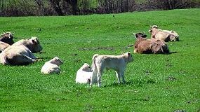 Foto de Valorizar la carne de vacuno producida en los Pirineos con razas autóctonas