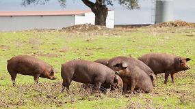 Foto de Una treintena de granjas de porcino ibérico optan a los Porc d'Or Ibérico 2018
