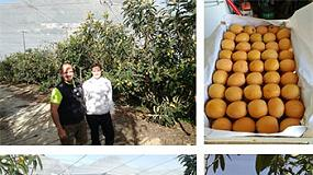 Foto de Éxito del uso del fertilizante Poly-Feed de Haifa en la fertirrigación del cultivo del níspero