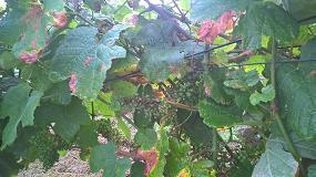 Foto de BASF presenta una familia de productos para la protección de las viñas