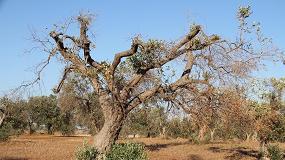 Foto de Cámaras aéreas detectan olivos enfermos por Xylella fastidiosa en estado asintomático