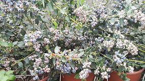 Foto de El cultivo hidropónico en el arándano logra un 50% más de producción en su primer año
